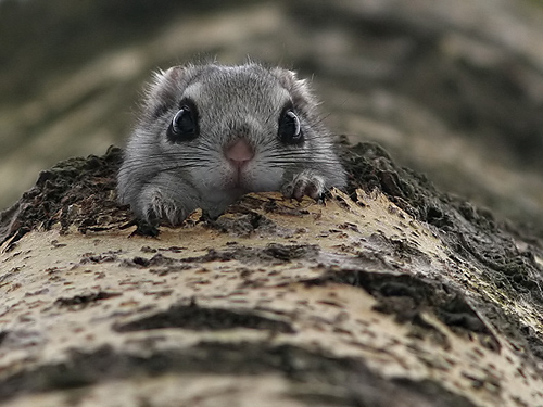 Cute Northern Flying Squirrel