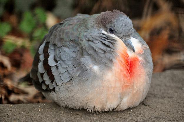 The 30 Fattest Birds O...