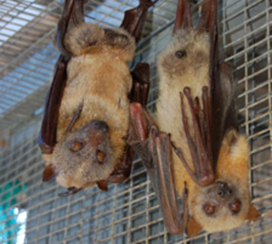 Flying Foxes in Peril