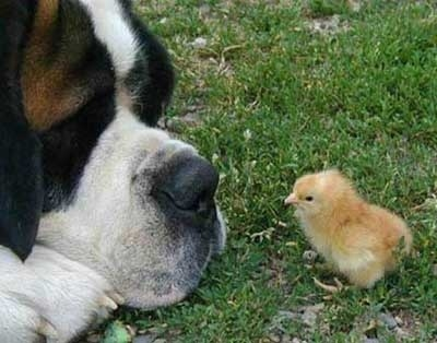 Chickens see color
