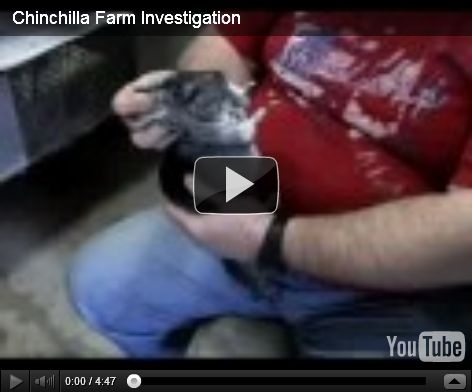 Chinchilla Farm Investigation