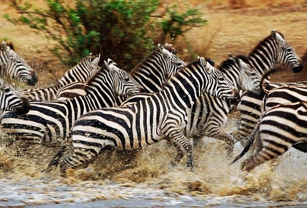 """Pictured Above: A herd of """"normal"""" zebras."""