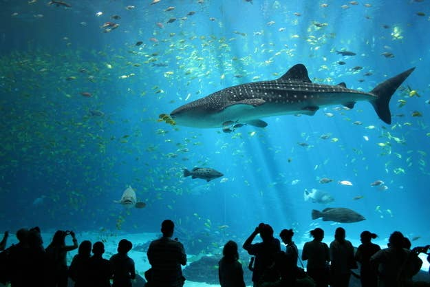 The above image of a whale shark at the Georgia Aquarium is licensed under the Creative Commons Attribution-Share Alike 2.5 Generic license, by Zac Wolf.