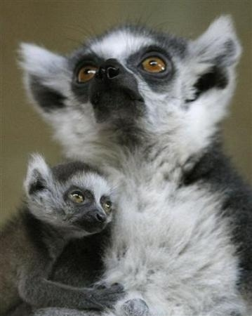 Family portrait. This looks staged. It is the very first lemur Glamour Shot.