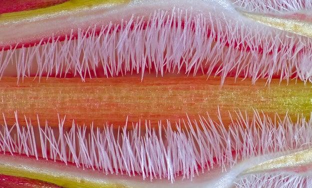 Subject: Pistil of the flower of Adenium obesumPhotographer: José R. Almodovar Rivera, University of Puerto Rico, Mayaguez, Puerto RicoMagnification: 10x