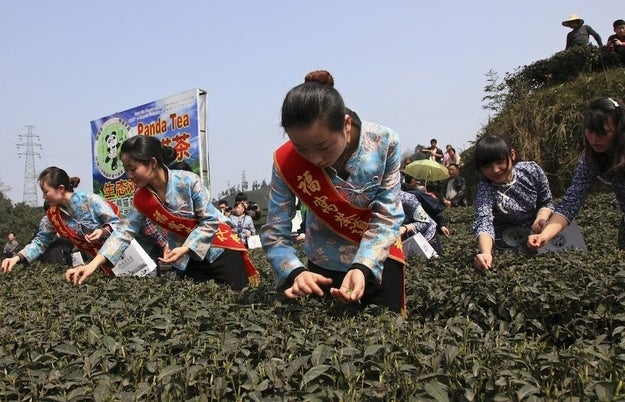 Employees collect tea leaves fertilized by panda droppings during a media event at a tea farm in Ya'an.