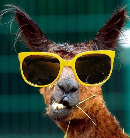 Animals with sunglasses - photo#6
