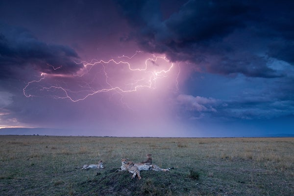 Cheetah and Storm by Paul Souders