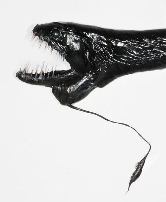 """Female black dragonfish—such as this newfound specimen of the Idiacanthus genus—are """"fierce predators"""" of small fish. But interestingly, male dragonfish lack teeth and a functional gut, and are thought to live only long enough to breed."""