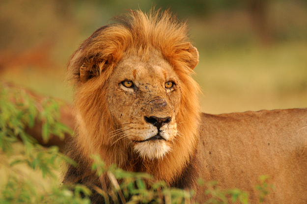 Lion looking ahead
