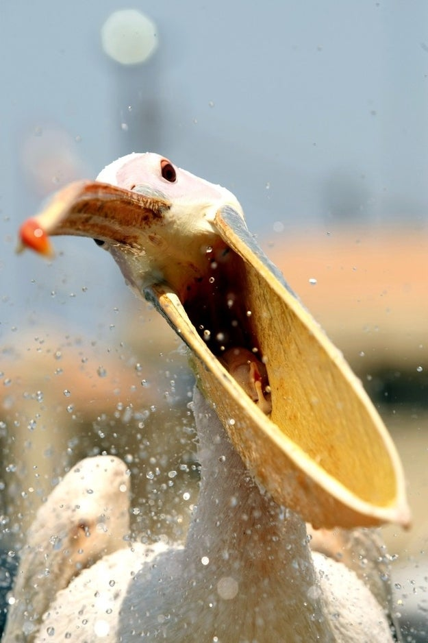 A pelican, which was named 'Mahrouma', meaning deprived in Arabic, by Lebanese fisherman, Abed Ibrik, waits to be fed in the Lebanese port city of Sidon on July 10, 2012. Ibrik rescued Mahrouma four years ago after she was shot in the wing while flying over Sidon and he now feeds her every other day and considers her as part of the family.