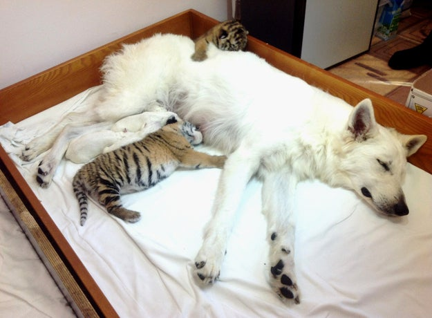 In this photo made Thursday, Nov. 22, 2012, white Swiss Shepherd dog, Talli, feeds orphaned tiger cubs and her own cubs in the Oktyabrsky Zoo in the Black Sea resort of Sochi, southern Russia. Three tiger cubs were born in the Oktyabrsky Zoo in Sochi on Nov. 14. Two male cubs, named Olymp and Dar and one female cub Talli, named after her adoptive mother, were abandoned by their birth mother, tigress Bagira. This is not the first time that Bagira has refused to feed her newborns.
