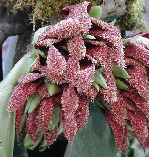 6. Bulbophyllum Phalaenopsis