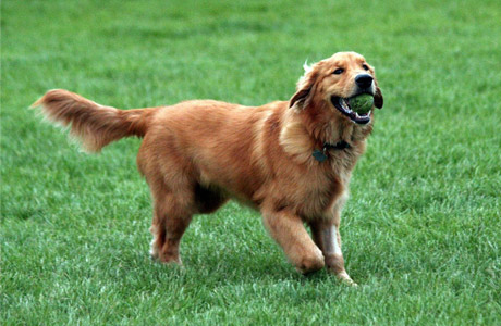 why are golden retrievers so friendly