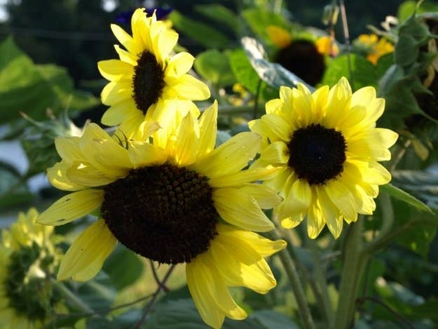 So, lettuce is part of the Asteraceae (OR Sunflower Family). This does not make sense. But it's right. Why? No one knows. NO ONE!