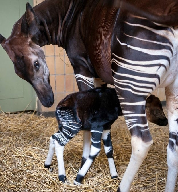 "Any creature that looks good in horizontal stripes has an automatic advantage when ranking cute animals. Looks like a zebra, doesn't it? Well, the cloven-hoofed okapi (Okapia johnstoni) is more closely related to a giraffe than any modern equine. Okapis flew under Western scientists' radar until the 20th century, when Harry Johnston obtained a skull and skin sufficient to identify it as a new species. Incidentally, the animals had been known to Africans for thousands of years before British colonialists ""discovered"" the creatures. Other ancient civilizations probably knew about okapis as well; an okapi-like creature appears in the carvings at Apadana, a 5th century BCE building at Persepolis."