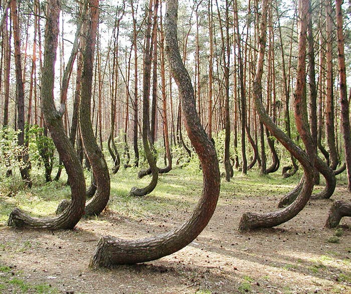 No one knows for sure what made the trees grow like this, although most believe humans had something to do with it.