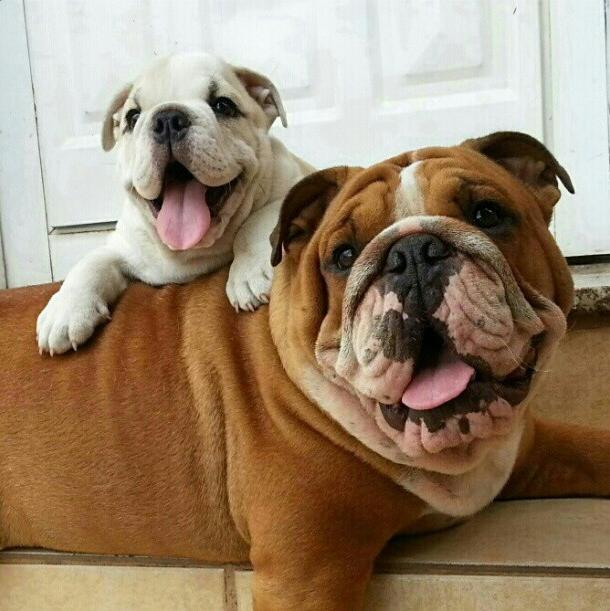 Bulldog Puppies For Sale Kakamega Kenya