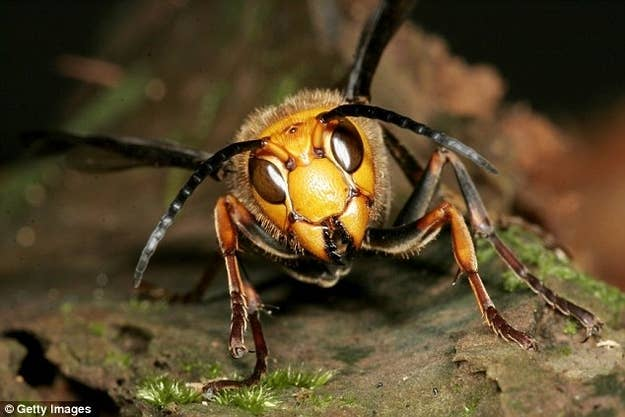 When scouting for prey, the Japanese Hornets send out a scout that will spray the Honey bee hive with pheromones. This signals and marks the hive so the hornets can easily find it.
