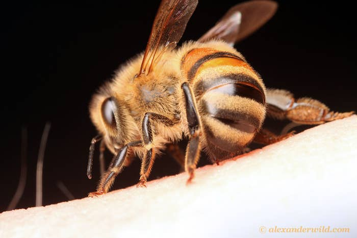 In a swinging motion the Honey bees swing their abdomens thus signaling to one another the impeding attack.