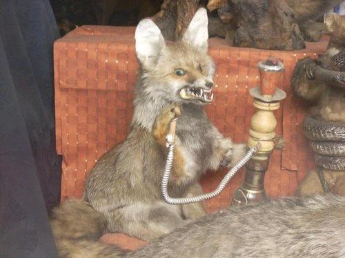 Stoned fox meme funny dating