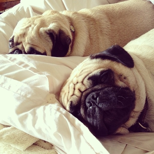The Most Important Pugs Of Instagram