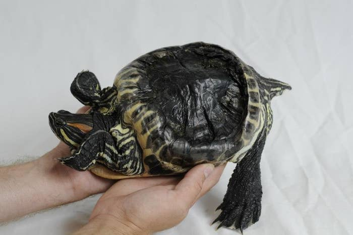 Audrey was born around 1990 and spent most of her life in a bucket. She subsisted on egg whites and had little space for exercise. Over time, her shell started to look strange: individual scutes warped in lumpy, asymmetrical ways and her carapace twisted upwards like an umbrella caught in a storm. Audrey needed help, but didn't get it for twenty years.