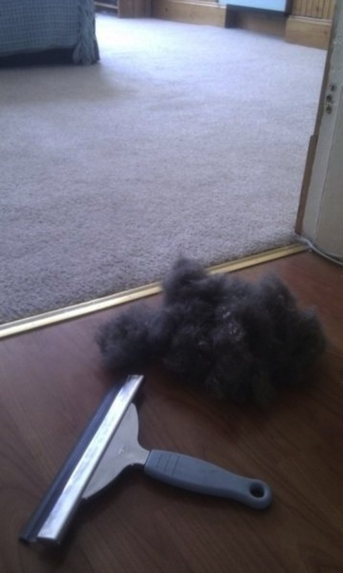 Get pet fur off a carpet or furniture with a window squeegee.