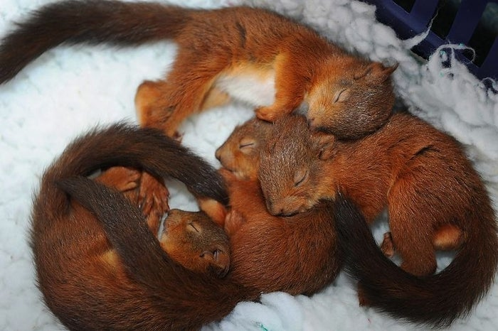 Why: Scientifically speaking, a pile of squirrels sleeping together is exponentially cuter than a single squirrel sleeping alone.