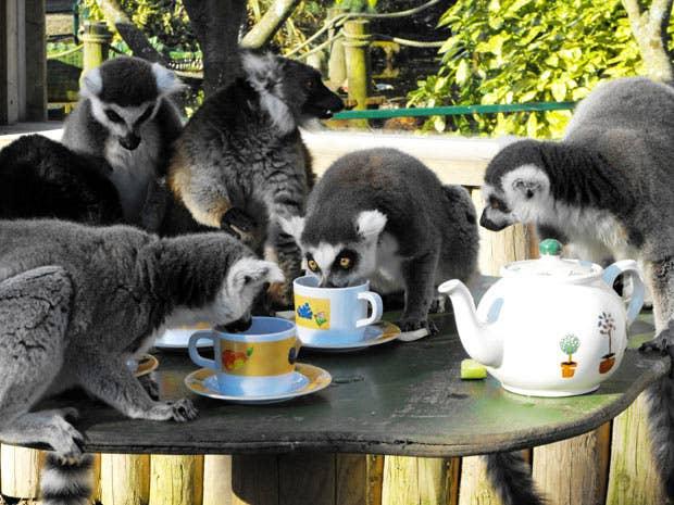These lemurs know.