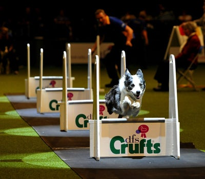"""Crufts also has """"Flyball,"""" a high adrenaline dog race, complete with crowd participation and a few unwavering rules, like each team having """"at least one ABC (anything but a collie) dog in the team."""" Sorry collies!"""