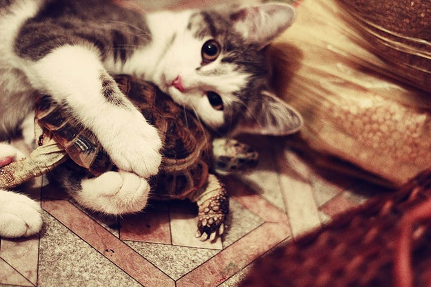 Why: This cat is a classic protective cuddler. Do you want to give that tortoise a hug too? Well, it's not happening. That tortoise is her cuddle buddy and she's not into sharing.