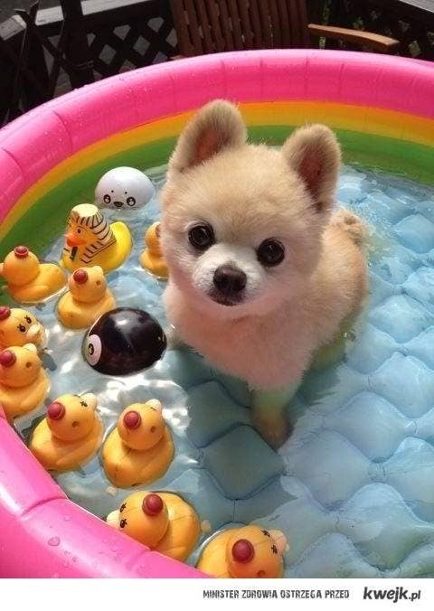 Unexpectedly Brilliant Tips For Dog Owners - Someone should have told this dog owner that pomeranians melt in water