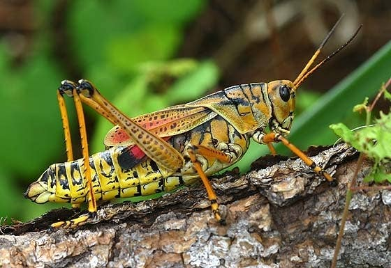 Grasshoppers! I don't like anything about them, I especially dislike the lubber grasshoppers that live in my state Colorado because they are gigantic and scare me when they jump.