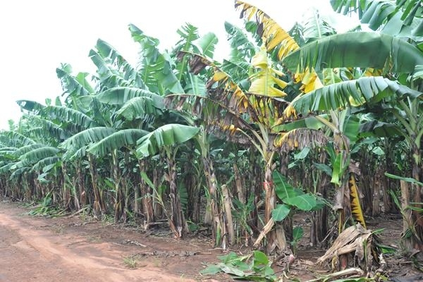 Bananas, as we know them, are in danger of being completely wiped out by disease.