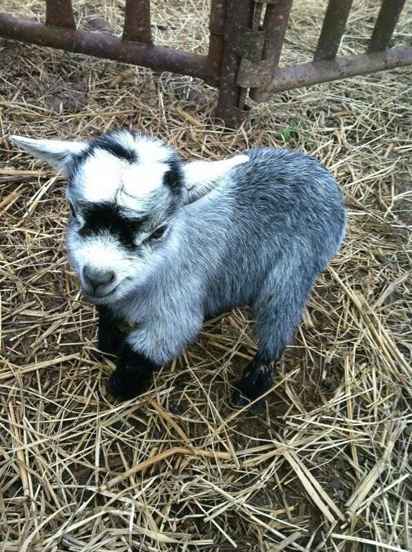 How Much Is A Baby Goat >> The Terrible Truth About Adorable Baby Goats