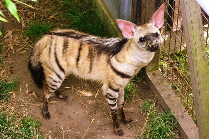 I'm like a hyena, only cuter — much cuter.