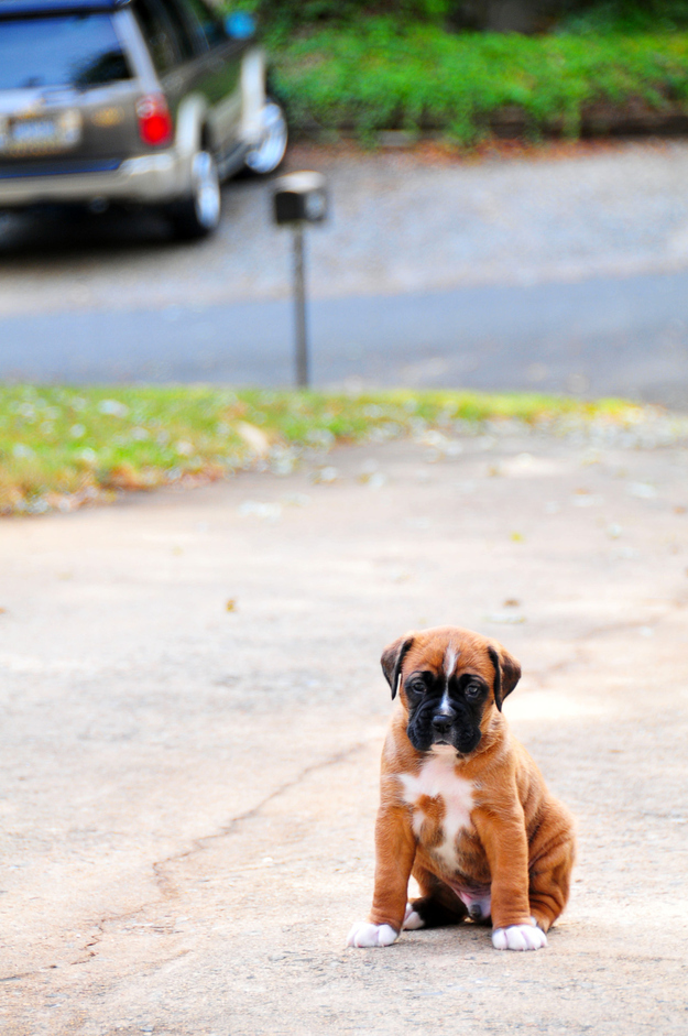21 Irresistible Boxer Puppies To Celebrate Boxing Day