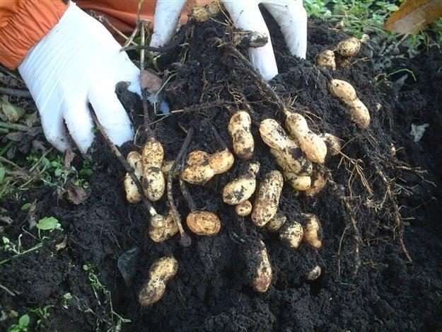 Image result for peanuts underground