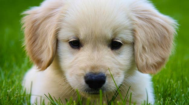 Reasons Why Golden Retrievers Are The Best Dogs Ever - 25 photos that prove golden retrievers are the cutest puppies