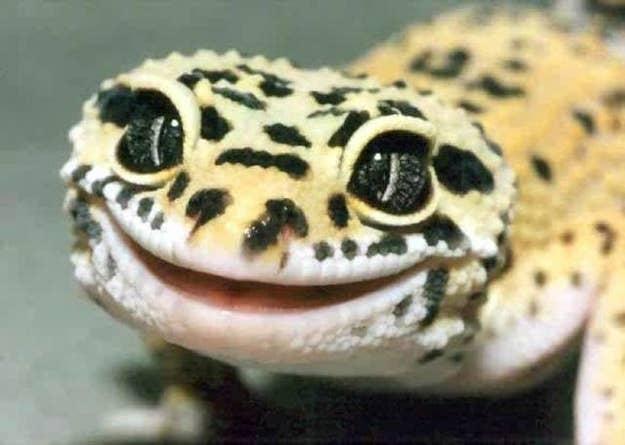 Adorable Leopard Geckos Page 99
