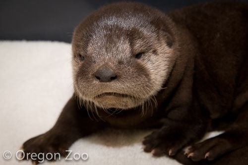 ZooBorns reports that the first river otter to be born at the Oregon Zoo was given the name Molalla—Mo for short—after the Oregon river.