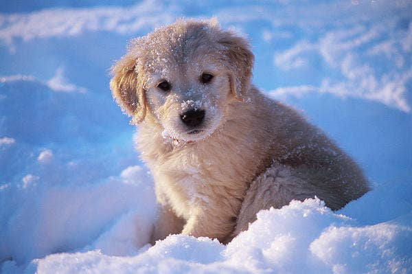 Pictures Of Golden Retriever Puppies That Will Brighten Your Day - 25 photos that prove golden retrievers are the cutest puppies