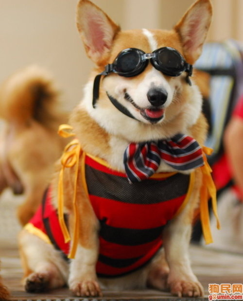 26 Things That You Re Forced To Wear When You Re A Corgi