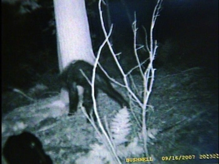 """This more recent sighting, in 2007, is pretty far from the usual Northwest sightings. A hunter claims he caught a picture of the shy beast using an automatically triggered camera in a tree. Even though the Pennsylvania Game Commission declared that the photo depicted a """"bear with a severe case of mange"""", you can decide for yourself… but if that's a bear, it has oddly long legs. Just sayin'."""