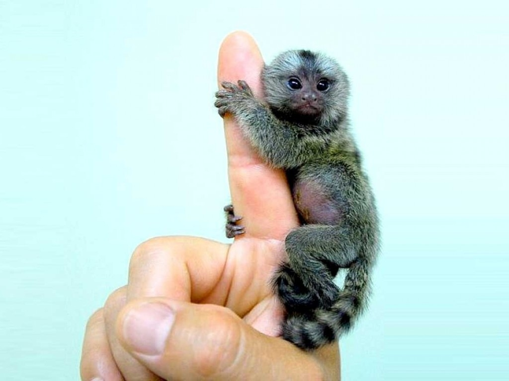 Finger Monkey Pygmy Marmoset
