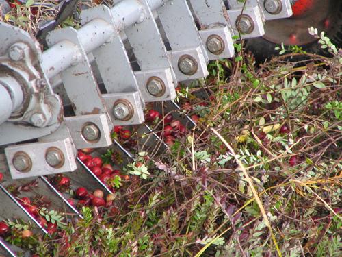 Cranberries don't actually grow underwater.