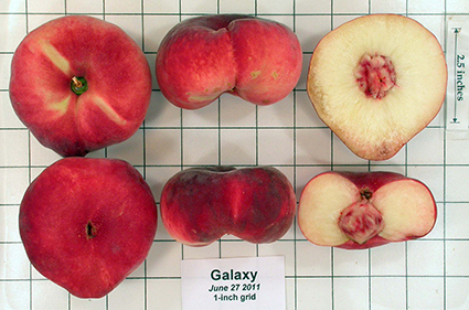 Donut peaches are a natural mutant peach variety, not a human-engineered fruit.