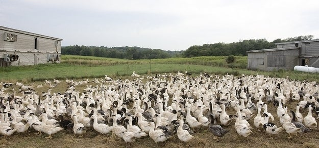 Ducks that will eventually be slaughtered for food, including foie gras, on the grounds at Hudson Valley Foie Gras in Ferndale, New York.