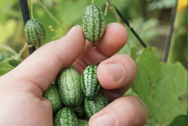 They're native to Mexico and Central America. They also go by the following names: mouse melon, Mexican sour gherkin, Mexican miniature watermelon and Mexican sour cucumber.